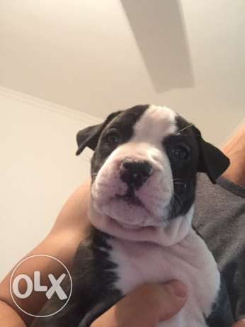 pitbull puppies for sale الغردقة -  7