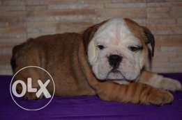 For sale best puppies English bulldog imported with all documents fci