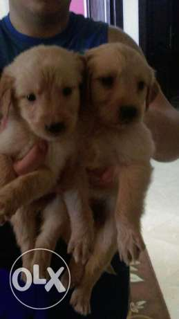 Puppy Golden For Sale