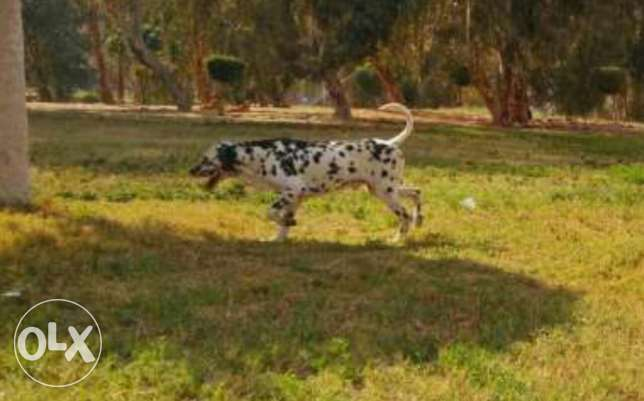 Pure Dalmation male for mating