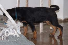 rot female 5 months