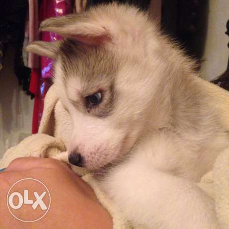 puppy husky pure breed شيراتون -  1