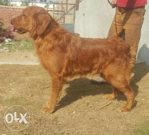 دكر جولدن للجواز فقط golden retriever for meeting only الإسكندرية -  2