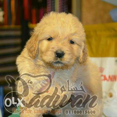 Golden retriever puppies جراوي جولدن