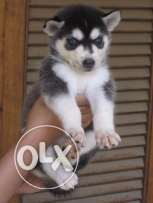 Siberian Husky Puppies -Champion bloodline