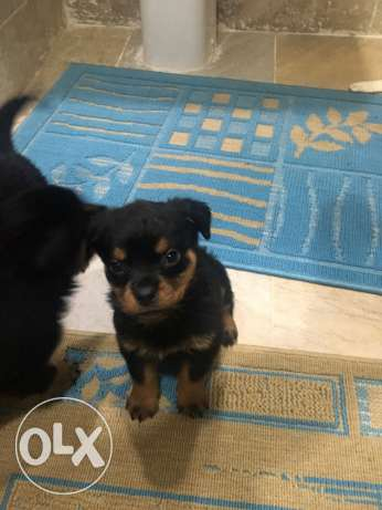 Rotwiller Dogs مدينتي -  2