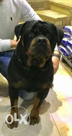 Rottweiler for mating