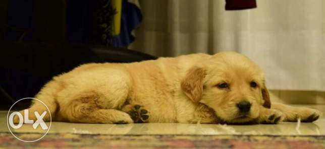 Golden Retriever Puppies Pure For Sale