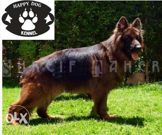 GSD out of imported parents 40 days