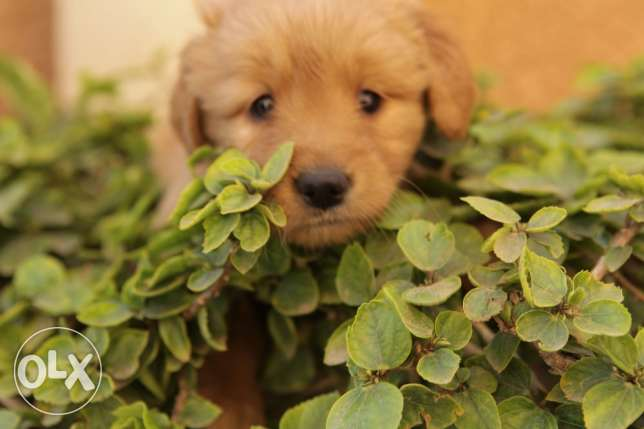 The best golden retriever puppies