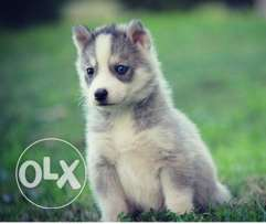 Siberian Husky pure puppies for sale