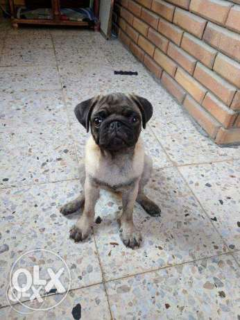 Pug male Puppy For sale
