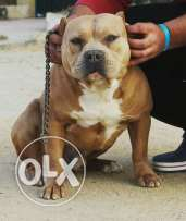Bully male for matting only