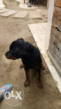 Rottweiler females with high quality and a pedigree