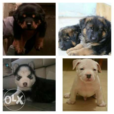German & rot & husky & bully puppies