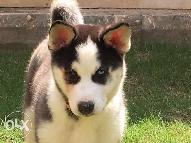 husky puppies كلاب هاسكي