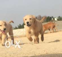 best golden puppies
