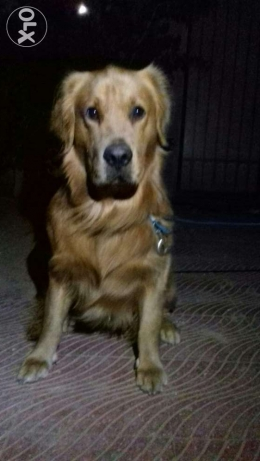 Male golden retriever for mating only ذكر جولدن الزوج فقط whatsapp on