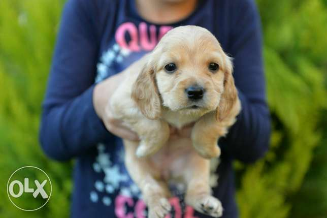 Cocker Spaniel puppies Ready for new homes مدينتي -  3