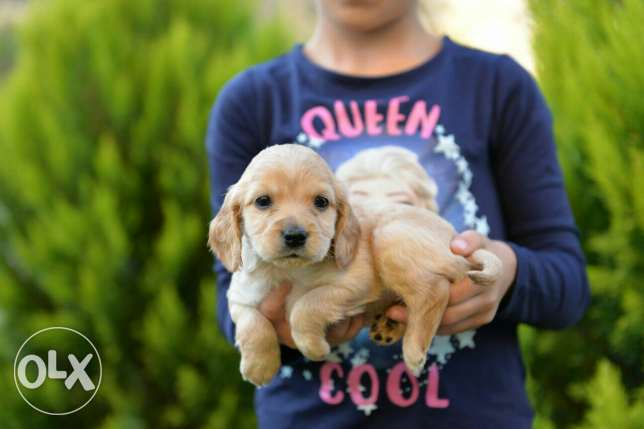Cocker Spaniel puppies Ready for new homes مدينتي -  1
