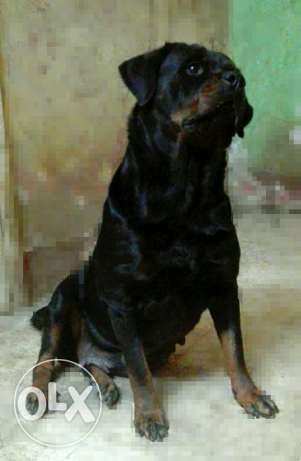 Rottweiler for sale, Female دار السلام -  1