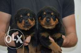 for sale rott