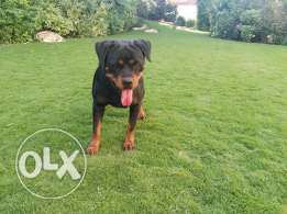 female rottweiller for sale