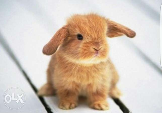 Dwarf rabbit needed urgently المنصورة -  1