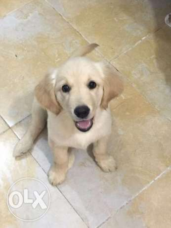 Selling Golden Retriever 6 أكتوبر -  3