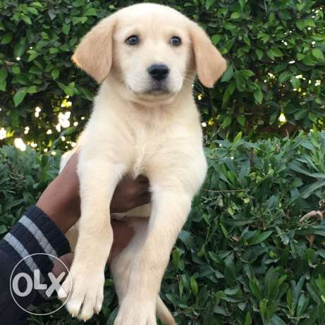 Labrador puppies for sale pure breed