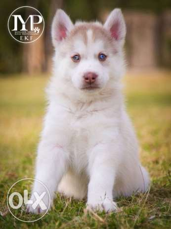 Available for sale siberian Husky puppies