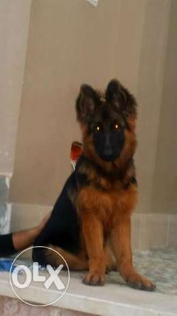 feamle german sheperd 4 mounth مدينة نصر -  2