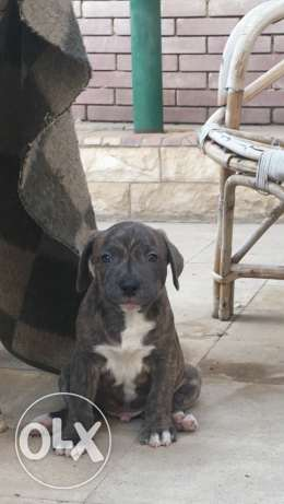 pitbull puppies 4 sale 40 days old vaccinated