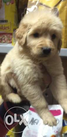 golden retreiver puppies الإسكندرية -  1