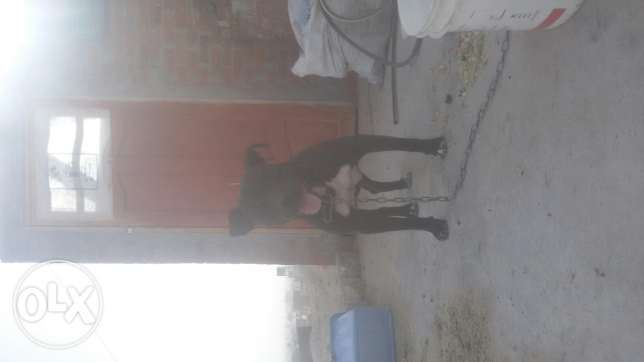 Black pitbull male for matting
