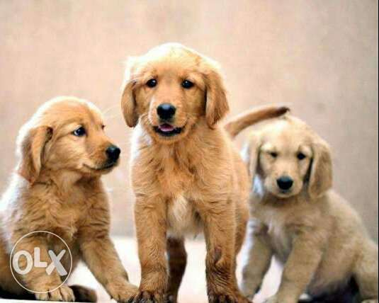 Golden retriver puppy القاهرة -  1