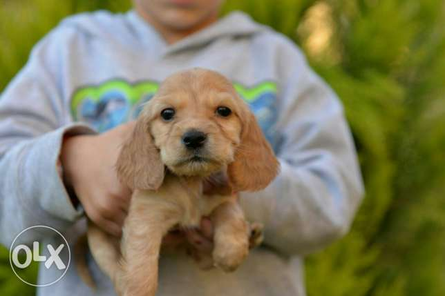 Cocker Spaniel puppies Ready for new homes مدينتي -  6