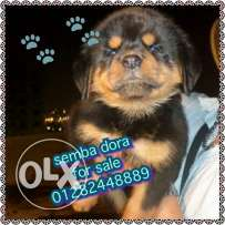 Baby Rottweiler for sale femail 60 day الاستفسار عبر الهاتف فقط