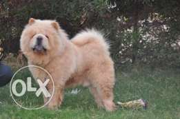 Chow chow للزواج فقط