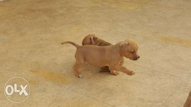 Pitbull Puppies for Sale 6 أكتوبر -  5