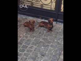 Dachshund the best hunting and house dogs Male and Female