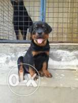 Rottweiler puppy for sale champion bloodline pure breed