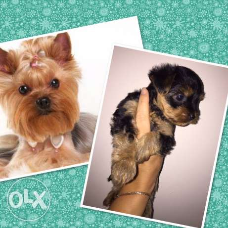puppy's of Yorkshire terrier