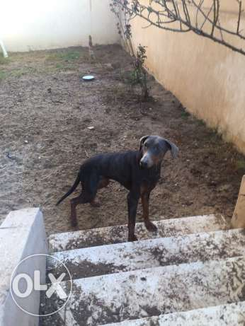 female doberman العبور -  3