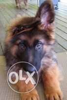 German Sheperd Male 3.5 Months Excellent Breed