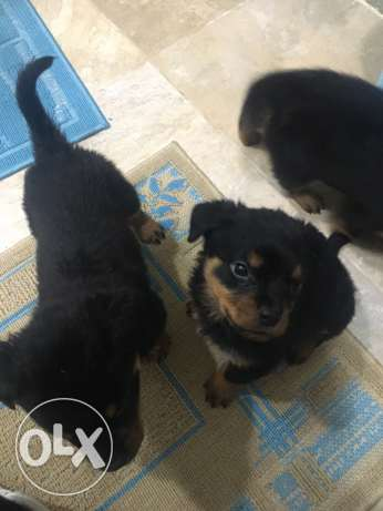 Rotwiller Dogs مدينتي -  3